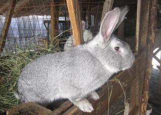 Кроль (самец) за 600руб, продам кроля