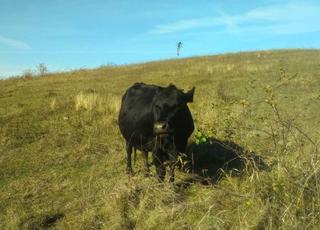 Продаэця корова мула