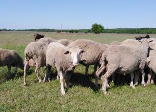 Продам Овец на Мясо.(Овцы.бараны Баранина. ).