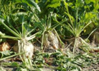 Западный Буг начал уборку сахарной свеклы: урожайность— до 70 т/га