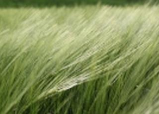 В Украине прогнозируют наибольший за 5 лет урожай озимого ячменя