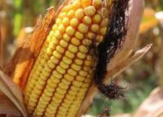 Суд наклав арешт на 13 тис. тонн кукурудзи агропідприємства «Астарти»