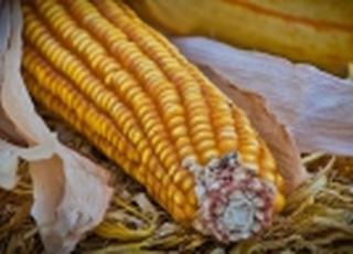Бум импорта кукурузы Китаем ослабнет только к осени 2021 года
