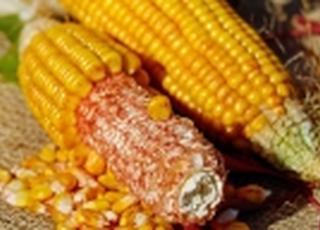 На экспорт ушло 19,6 млн т украинской кукурузы