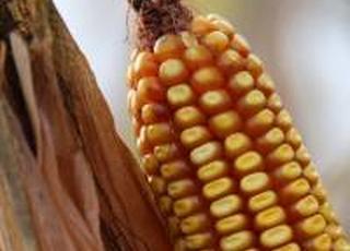 Українські аграрії активно укладають форварди на кукурудзу